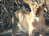 Tour 7: Kgalagadi Transfrontier Park and Augrabies Falls National Park 5 Days Tour