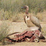 Vulture | Birds | Kalahari Safaris | Kgalagadi, Augrabies & Desert Tours