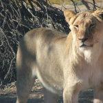 Animals | Kalahari Safaris | Kgalagadi, Augrabies & Desert Tours