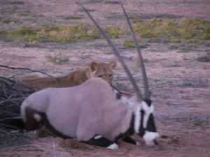 Very Rare Occasion – Lion with Gemsbok | Kalahari Safaris | Kgalagadi, Augrabies & Desert Tours