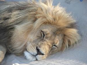 Lion | Kalahari Safaris | Kgalagadi, Augrabies & Desert Tours