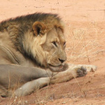 Lion | Animals | Kalahari Safaris | Kgalagadi, Augrabies & Desert Tours