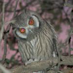 Owl | Birds | Kalahari Safaris | Kgalagadi, Augrabies & Desert Tours