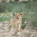 Lion Cub | Animals | Kalahari Safaris | Kgalagadi, Augrabies & Desert Tours