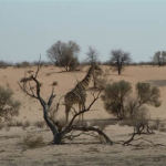 Giraffe | Animals | Kalahari Safaris | Kgalagadi, Augrabies & Desert Tours
