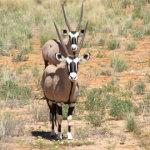 Gemsbok | Animals | Kalahari Safaris | Kgalagadi, Augrabies & Desert Tours