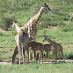 Giraffe Herd | Animals | Kalahari Safaris | Kgalagadi, Augrabies & Desert Tours