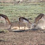 Springbok | Animals | Kalahari Safaris | Kgalagadi, Augrabies & Desert Tours