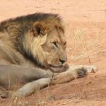 Lion | Animals | Kalahari Safaris | Kgalagadi, Augrabies & Desert Tours