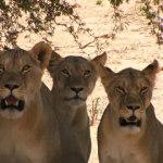 Lioness Herd | Animals | Kalahari Safaris | Kgalagadi, Augrabies & Desert Tours